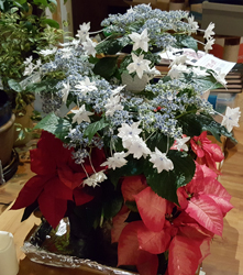 A Shooting Star Hydrangea with Pointsettias
